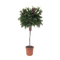 Polygala Myrtifolia op stam