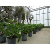Vijgenboomstruik klein (stamomtrek 6 cm/hoogte 40 tot 50cm)