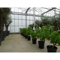 Vijgenboomstruik groot (stamomtrek 8 cm/hoogte 110 tot 120 cm)