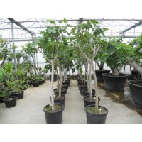 Fig Tree Shrub size (girth 8 cm / height 110 to 120 cm)
