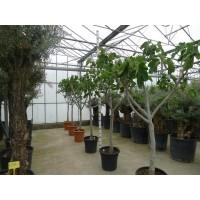 Vijgenboom (stamomtrek 20 tot 25 cm/hoogte 190 tot 210 cm)