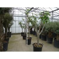 Vijgenboom (stamomtrek 30 tot 35 cm/hoogte 190 tot 210 cm)