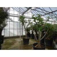 Vijgenboom (stamomtrek 40 tot 45 cm/hoogte 190 tot 210 cm)
