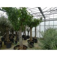 Vijgenboom (stamomtrek 60 tot 70 cm/hoogte 190 tot 210 cm)