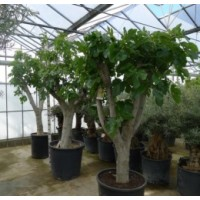 Fig tree (girth 60 to 70 cm / height 190 to 210 cm)