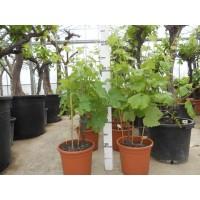 Druivenboom klein (stamomtrek 5 tot 8 cm/hoogte 90 tot 110 cm)