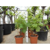 Fig tree (girth 70 to 80 cm / height 280 to 300 cm)