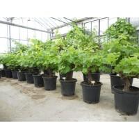 Druivenboom middel (stamomtrek 15 tot 20 cm/hoogte 65 tot 85 cm)