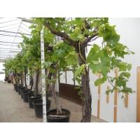 Druivenboom groot XXL (stamomtrek 30 tot 40 cm/hoogte 140 tot 160 cm)