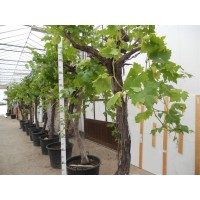 Grape Tree size (girth 25 to 40 cm / height 85 to 105 cm)