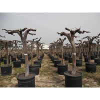 Grape Tree large XXL (girth 30 to 40 cm / height 140 to 160 cm)