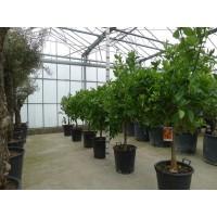 Sinaasappelboom middel (stamomtrek 16 tot 20 cm/hoogte 150 tot 160 cm)
