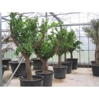 Sinaasappelboom groot (stamomtrek 40 tot 50 cm/hoogte 200 tot 230 cm)