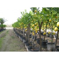 Orange tree size (girth 40 to 50 cm / height 200 to 230 cm)