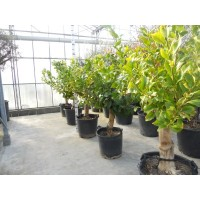 Lemon Tree small (girth 15 to 20 cm / height 180 to 200 cm)
