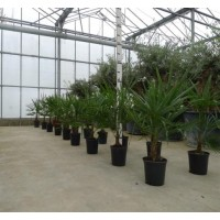 Palmboom Trachycarpus Fortunei, eenstammig 15 tot 20 cm