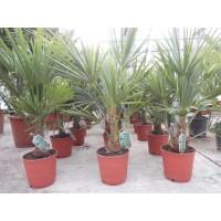 Palmboom Trachycarpus Fortunei, eenstammig 20 tot 25 cm
