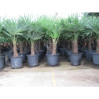 Palm Trachycarpus Fortunei, one strain 20 to 25 cm