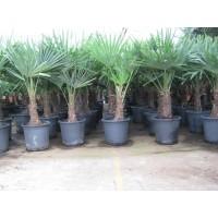 Palmboom Trachycarpus Fortunei, eenstammig 25 tot 35 cm