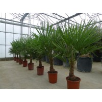 Palm Trachycarpus Fortunei, one strain 25 to 35 cm