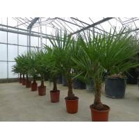 Palmboom Trachycarpus Fortunei, eenstammig 35 tot 40 cm