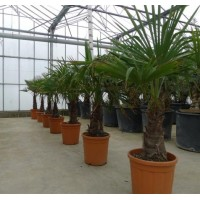 Palmboom Trachycarpus Fortunei, eenstammig 45 tot 50 cm