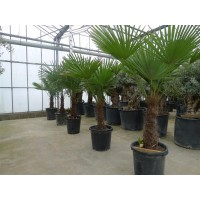 Palm Trachycarpus Fortunei, one strain 45 to 50 cm