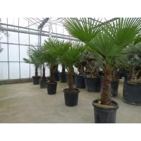 Palmboom Trachycarpus Fortunei, eenstammig 50 tot 55 cm