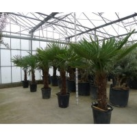 Palm Trachycarpus Fortunei, one strain 50 to 55 cm
