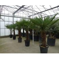 Palmboom Trachycarpus Fortunei, eenstammig 65 tot 75 cm