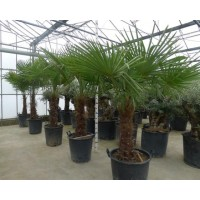 Palm Trachycarpus Fortunei, one strain 65 to 75 cm
