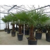 Palmboom Trachycarpus Fortunei, eenstammig 80 tot 90 cm