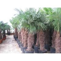 Palmboom Trachycarpus Fortunei, eenstammig 100 tot 120 cm