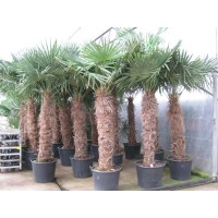 Palm Trachycarpus Fortunei, one strain 100 to 120 cm