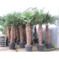 Palmboom Trachycarpus Fortunei, eenstammig 130 tot 160 cm