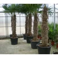 Palm Trachycarpus Fortunei, one strain 130 to 160 cm