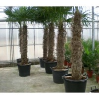 Palmboom Trachycarpus Fortunei, eenstammig 160 tot 200 cm