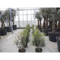Palm Trachycarpus Fortunei, one strain 160 to 200 cm