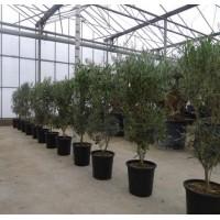 Olive Bush Medium (height 60 to 80 cm)