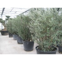 Olive Bush large (height 100 to 120 cm)