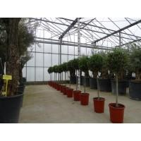 Olive Bush jumbo (height 160 to 180 cm)
