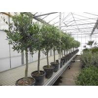 Olijfboom, gladde stam (stamomtrek 10 tot 14 cm/hoogte 150 tot 170 cm)
