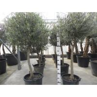 Olijfboom, gladde stam (stamomtrek 16 tot 18 cm/hoogte 130 tot 160 cm)