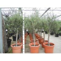 Olijfboom, gladde stam (stamomtrek 17 tot 22 cm/hoogte 160 tot 200 cm)