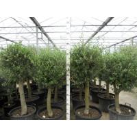 Olijfboom, gladde stam (stamomtrek 27 tot 37 cm/hoogte 170 tot 190 cm)