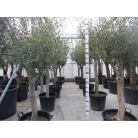 Olijfboom, gladde stam (stamomtrek 30 tot 35 cm/hoogte 170 tot 210 cm)