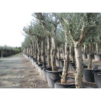 Olijfboom, gladde stam (stamomtrek 40 tot 50 cm/hoogte 190 tot 220 cm)