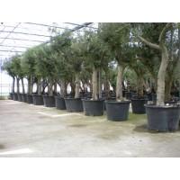 Olijfboom, gladde stam (stamomtrek 50 tot 60 cm/hoogte 230 tot 270 cm)