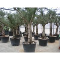 Olijfboom, gladde stam (stamomtrek 70 tot 90 cm/hoogte 250 tot 300 cm)