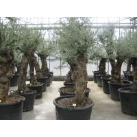 Olijfboom, karakteristieke stam (stamomtrek 60 tot 75 cm/hoogte 150 tot 200 cm)